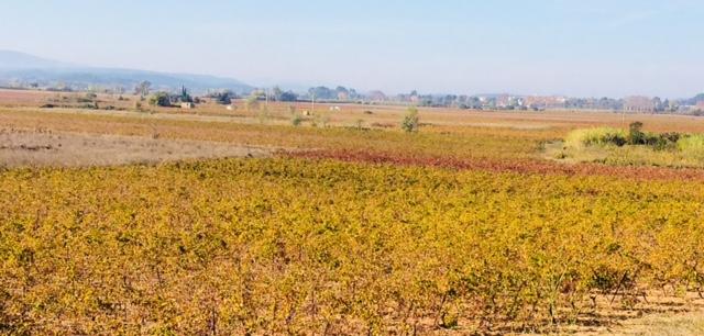 Druivenvelden